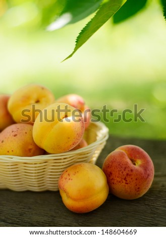 Ripe Tasty Apricots in the Basket on the Old Wooden Table on the Green Foliage Background