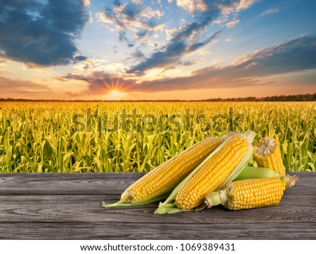Ripe tasty corn on wooden table in the background of cornfield Summer landscape sunset Concept of agriculture