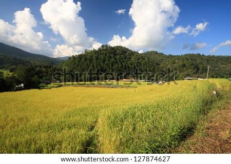 Ripe terrace rice field against blue sky in Chaing Mai, Thailand