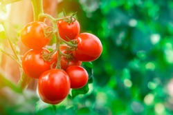 Ripe tomato cluster in greenhouse. Autumn vegetable harvest on organic farm.