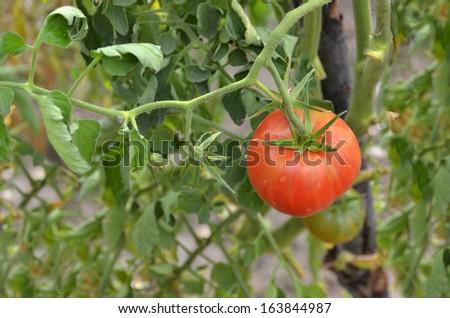 Ripe tomato in the tomato plant. Agriculture concept