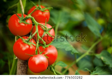 Ripe tomato plant growing in greenhouse. Tasty red heirloom tomatoes. Blurry background and copy space #776503282