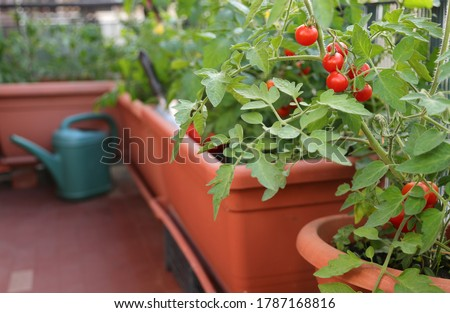 ripe tomatoes grown in plants inside the flower pots on the terrace with the organic farming technique called urban garden Foto stock ©