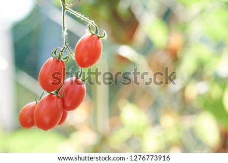 Ripe Tomatoes hanging from plant #1276773916