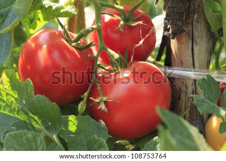 Ripe tomatoes natural