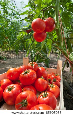 ripe tomatoes ready for picking