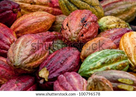 Ripe Trinitario cocoa bean pods after harvest in the rain forest of the Caribbean island of Grenada