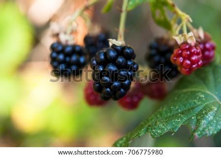 Ripe, unripe and ripening blackberries on blackberry vine