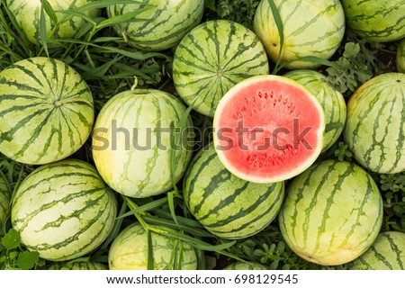 Ripe watermelons on the field, harvesting. Cut red watermelon.