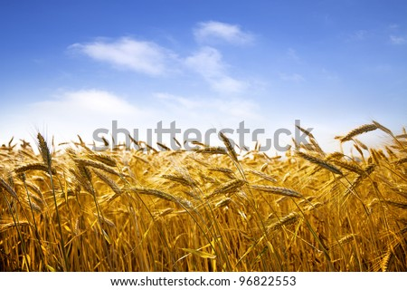Ripe wheat against blue sky. Field of wheat under the blue sky.