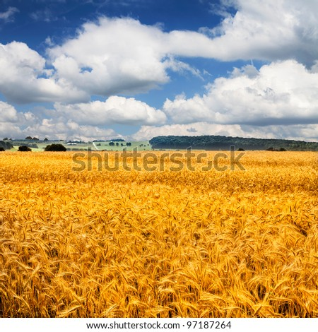 Ripe wheat against blue sky. Field of wheat under the blue sky.