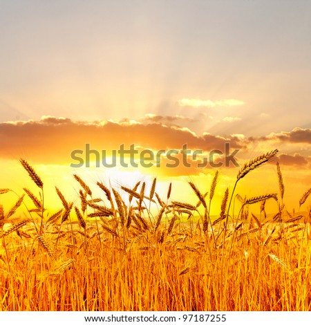 Ripe wheat at sunset.