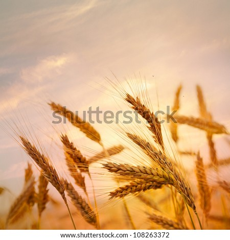 Ripe wheat at sunset. Landscape.