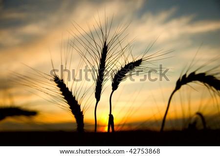 ripe wheat at sunset. south Ukraine - stock photo