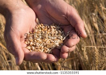 Ripe wheat bean seed in farmer hands close-up shot. #1135355591