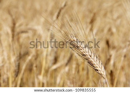 Ripe wheat close-up beauiful background