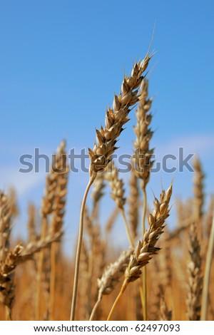 Ripe wheat closeup against a blue sky.