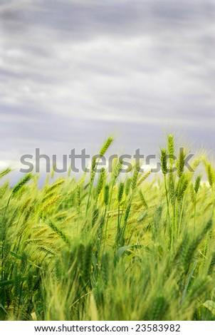 Ripe wheat ears blowing in the wind
