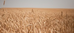 Ripe wheat field against the background of the cloudy sky. Harvest for the food industry.