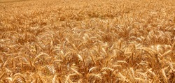 Ripe wheat field background. Harvest. Farming