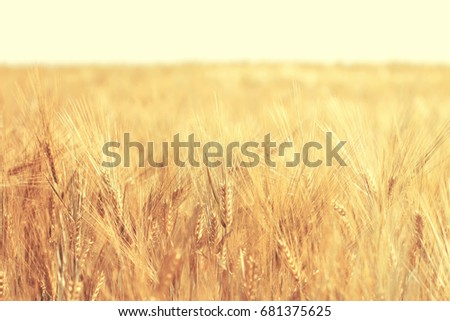 Ripe wheat field in sunny day. Spikelets of rye are growing in a farm field. #681375625