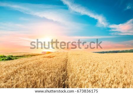 Ripe wheat field landscape at sunset #673836175