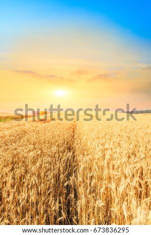 Ripe wheat field landscape at sunset #673836295