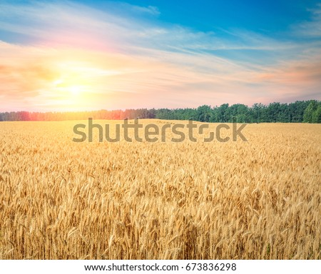 Ripe wheat field landscape at sunset #673836298
