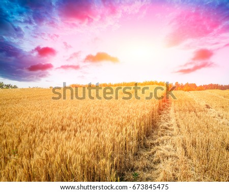 Ripe wheat field landscape at sunset #673845475