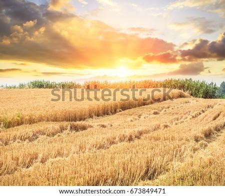Ripe wheat field landscape at sunset #673849471