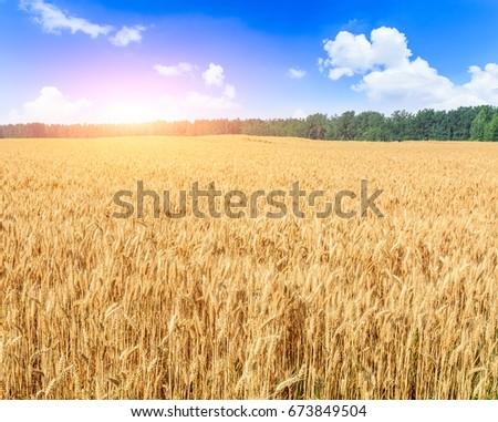 Ripe wheat field landscape at sunset #673849504