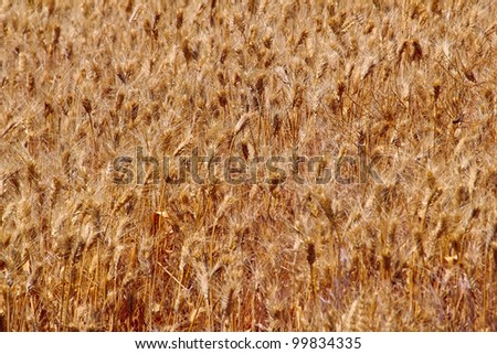 Ripe Wheat Field Ready for Harvest Abstract Palouse Washington State Pacific Northwest
