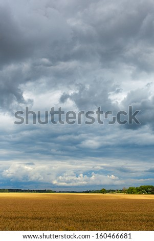 Ripe wheat field under cloudy sky. #160466681