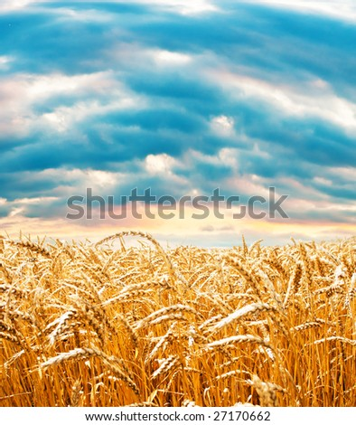 Ripe wheat field under cloudy sky #27170662