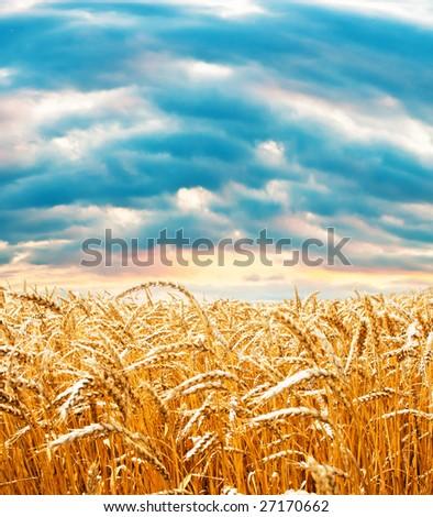 Ripe wheat field under cloudy sky #27170662