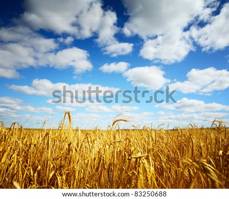 Ripe wheat on a field and blue sky with clouds