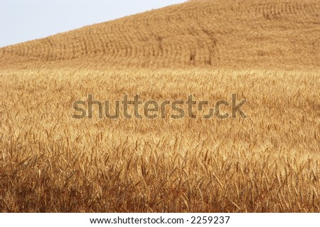 Ripe wheat ready for harvest in the Palouse area of southeastern Washington state