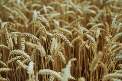 Ripe wheat spikes on wheat field at the end of summer