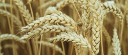 Ripe wheat spikes summer banner