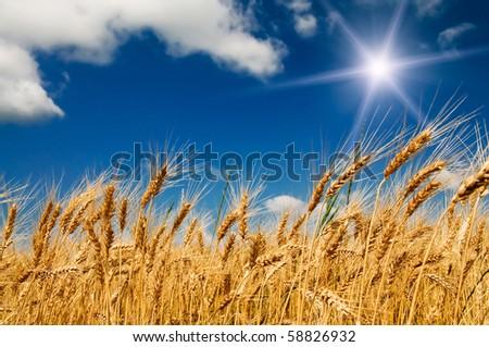 Ripe wheat under blue sky and fun sun.