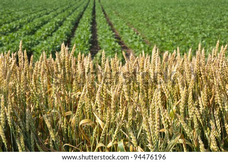 ripe wheat with soybean field in the background