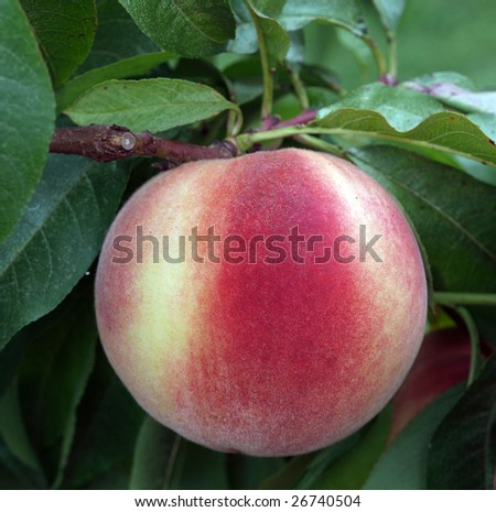 Ripe White Fleshed New Zealand Peach ready for picking