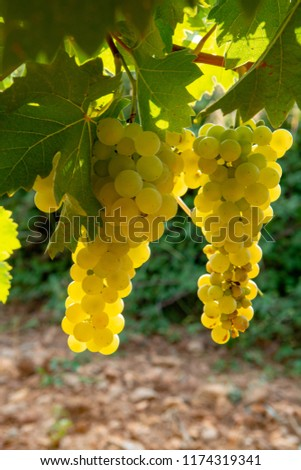 Muscat grape bunch on the sun, vine harvest, France Images