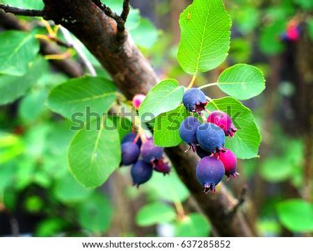 Ripe wild-growing amelanchier berries on bush, closeup, lomo effect #637285852