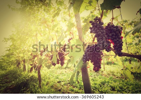Ripe wine grapes on vines in Tuscany vineyard, Italy. Sun shining through leaves