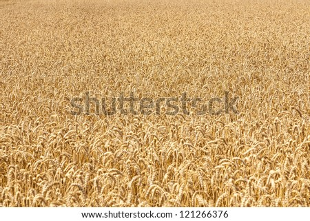Ripe yellow ears of wheat - stock photo
