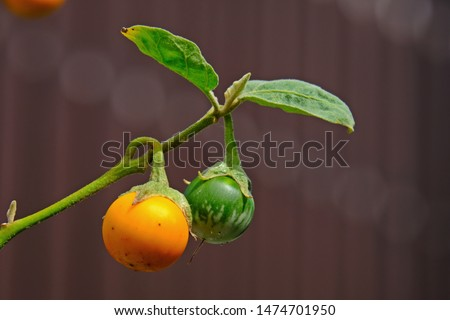 Ripe yellow fruit and  young green fruit of Cock roach berry (Dutch eggplant, Indian Nightshade) with blurred background.