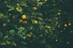 Ripe yellow lemons hang on the lemon tree at plantation. Darkened and vignetted natural background of citrus tree.