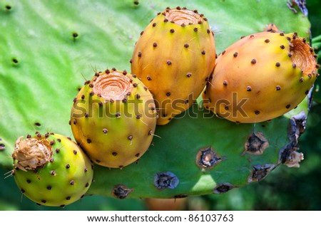 Ripe yellow prickly pears (cactus fig)