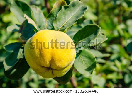 Ripe yellow quince grows on quince tree with green foliage in autumn garden. Quinces garden, close up  #1532604446